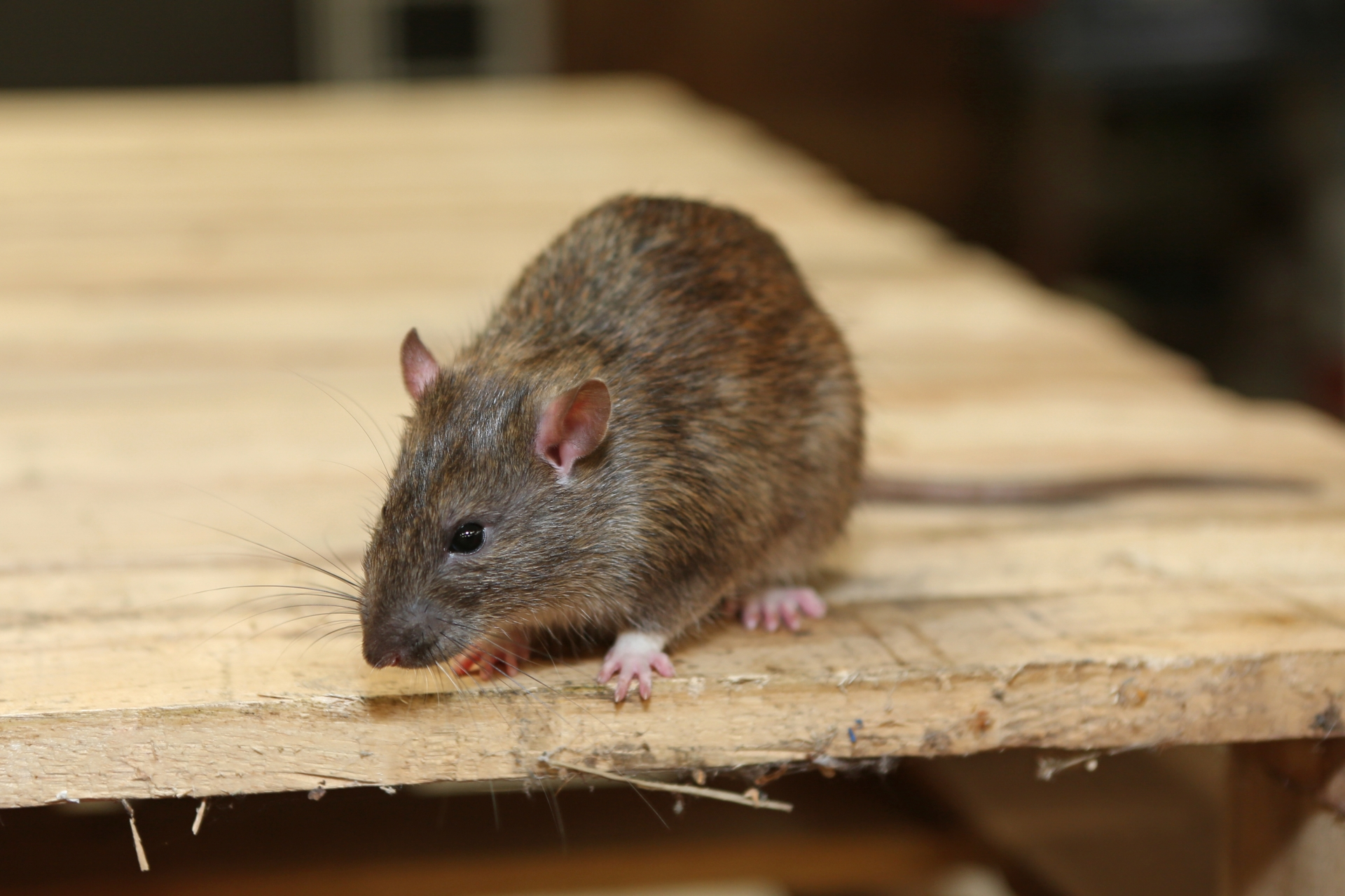Rat Control, Pest Control in Brentford, Kew Bridge, TW8. Call Now 020 8166 9746